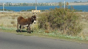 Donkey_on_the_Road_of_Lake_Sevan