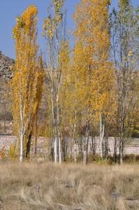Golden_Poplars